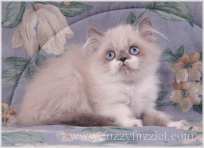 Virginia Doll Face Persian Ct Doll Face Persian Kitten For Sale Persian Kittens For Sale Persian Kittens Kittens