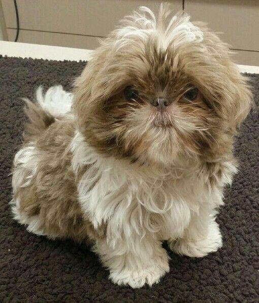 Blake Aka The Blakester Baby Dogs Cute Puppies Shih Tzu