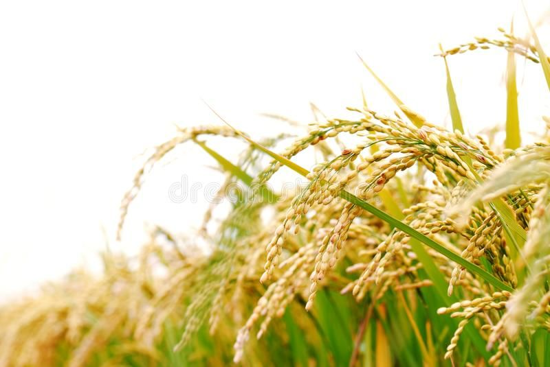 Rice Plant S On White Background Sponsored Plant Rice Background White Ad Rice Plant Rice Crop Plants
