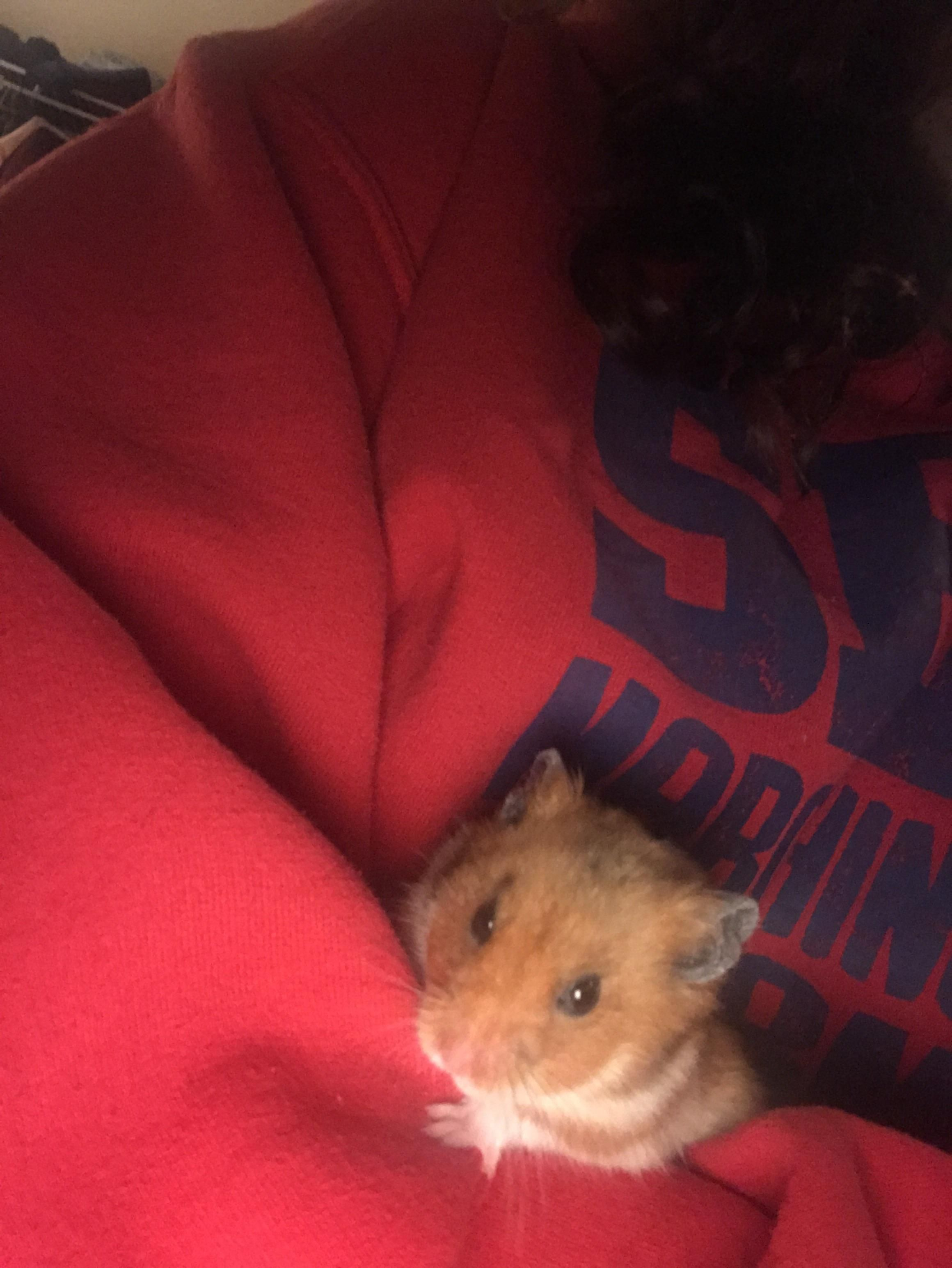 My Old Man Gussie Enjoying A Little Cuddle Session With Me I Can T Believe He S Almost A Year And A Half Old Already Aww Cutehamsters Hamster Hamstersofpi