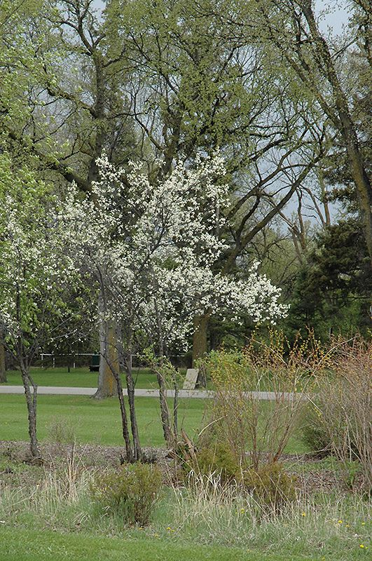 Click To View Full Size Photo Of Toka Plum Prunus At Tree Top Nursery Landscaping