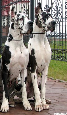 Pin By Julie Morash On Types Of Dogs In 2020 Great Dane Dogs