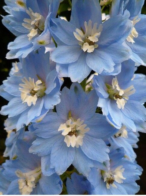 Fiori Blu E Bianchi.Azzurri Fiori Blu Fiori E Giardino Di Fiori