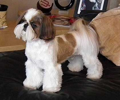 Image Result For Shih Tzu Haircuts Grooming Pinterest