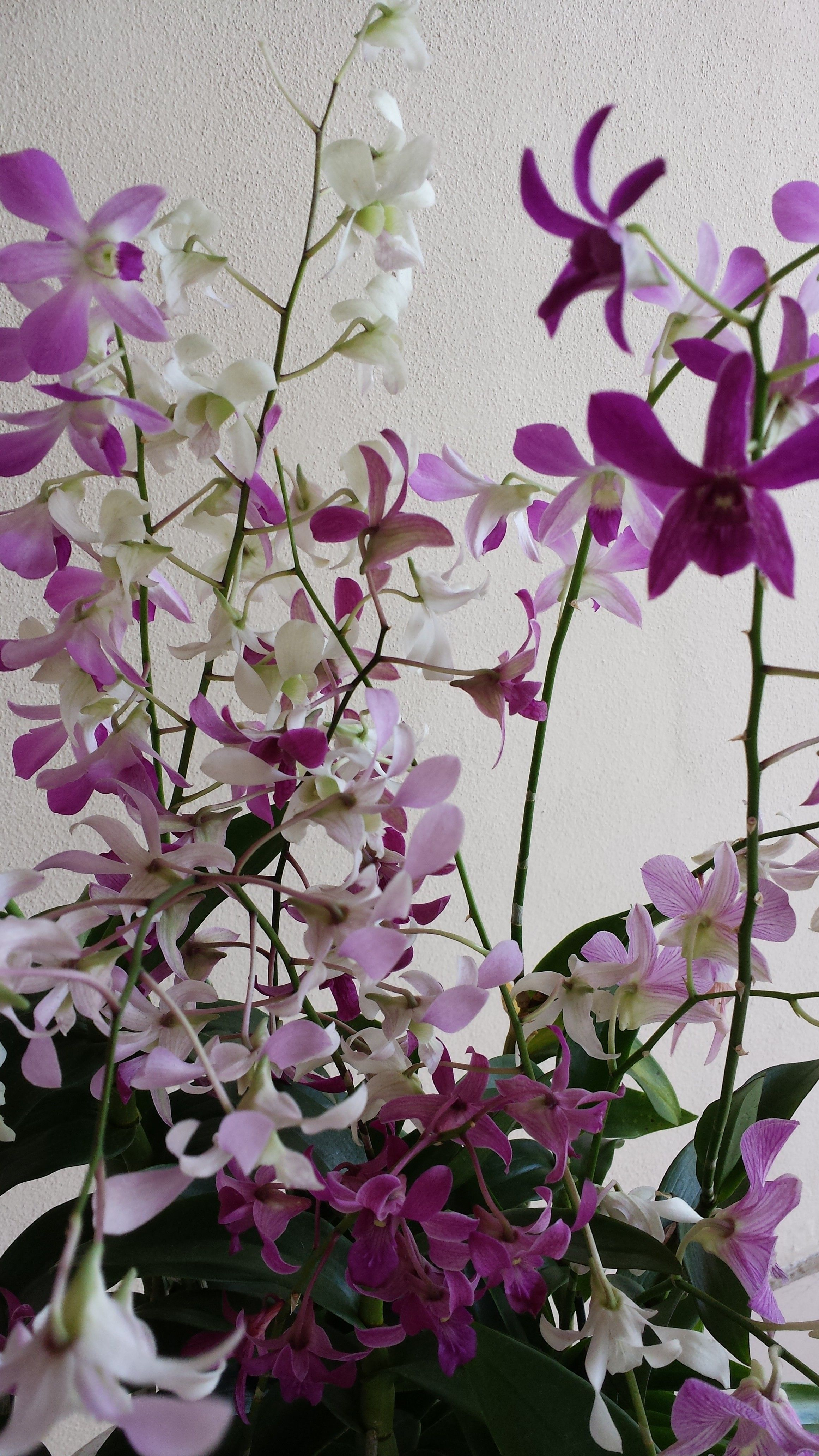 The orchid is one of the most highly coveted of ornamental plants the orchid is one of the most highly coveted of ornamental plants this delicate izmirmasajfo