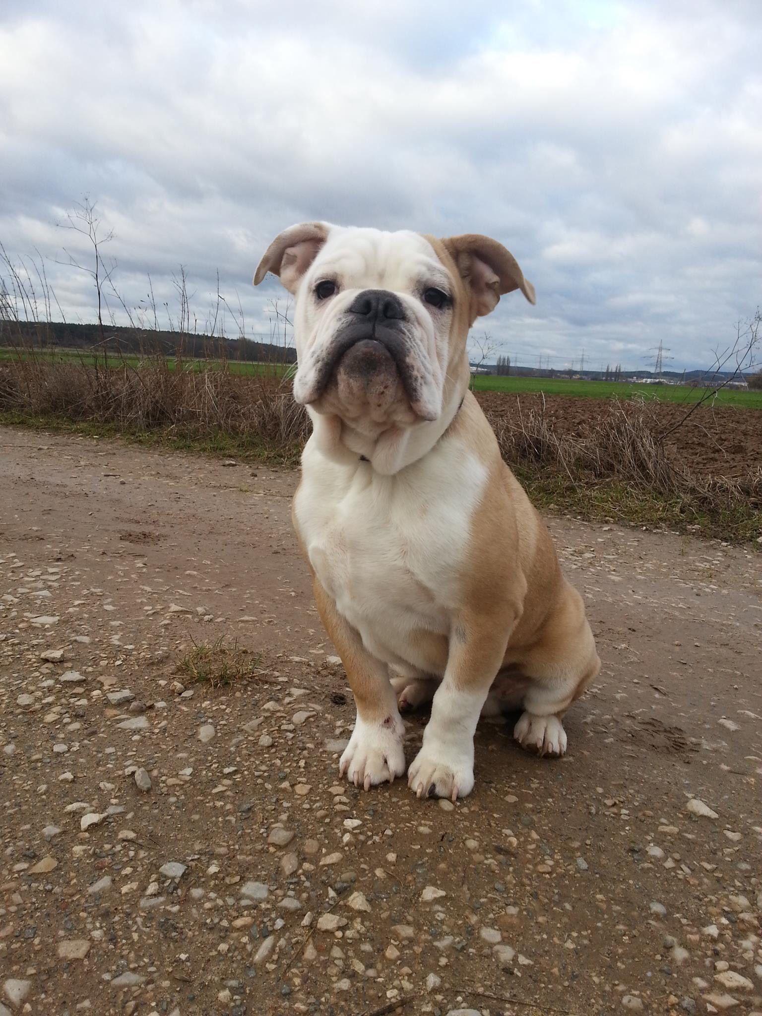 Ap Ichiban Canneo English Bulldog Male Www Asgards Pride Com Www Canneo Bulldogs Com Bulldog Breeds Bulldog English Bulldog