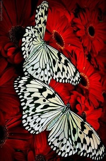 Pin By Frederique Cary On Black White Red Black And Red Insect Photography Colorful Butterflies