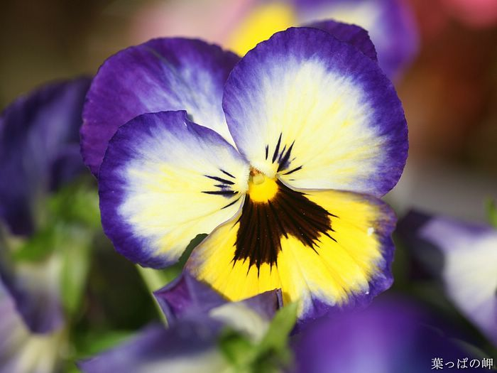Flowering Plants Hd Flower Photography Vol 11 Pansy Flowers Bicolor Pansy Violets Flower Picture 8 Pansies Flowers Pansies Unusual Flowers