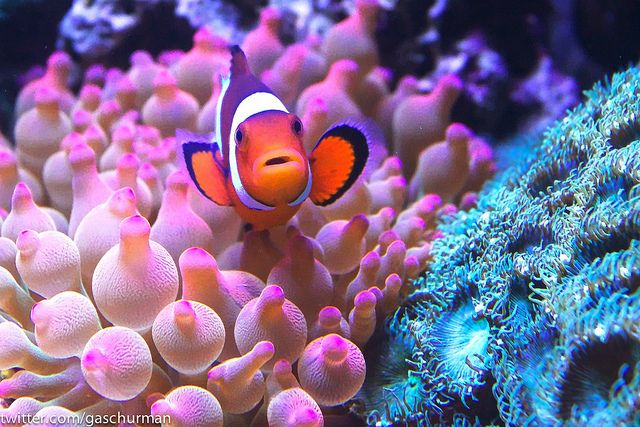 Clownfish In Rose Bubble Tip Anemone Bubble Tip Anemone Anemone Clown Fish