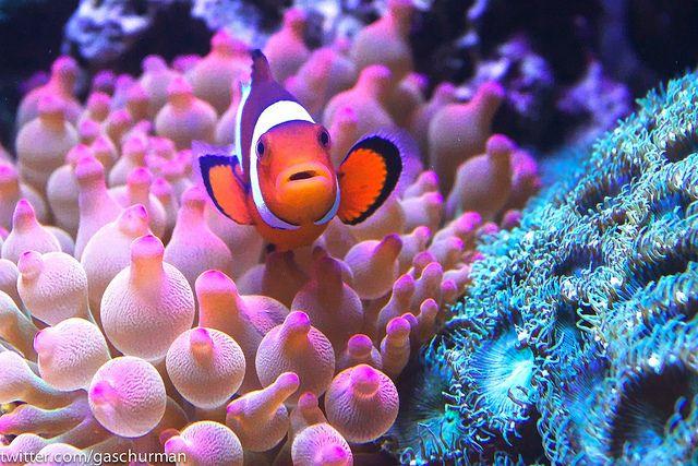 Clownfish In Rose Bubble Tip Anemone Bubble Tip Anemone Anemone Saltwater Aquarium Setup