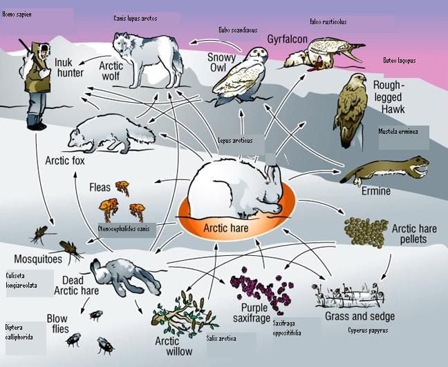 Arctic Biome | Teaching - Science | Pinterest | Pictures, The ...
