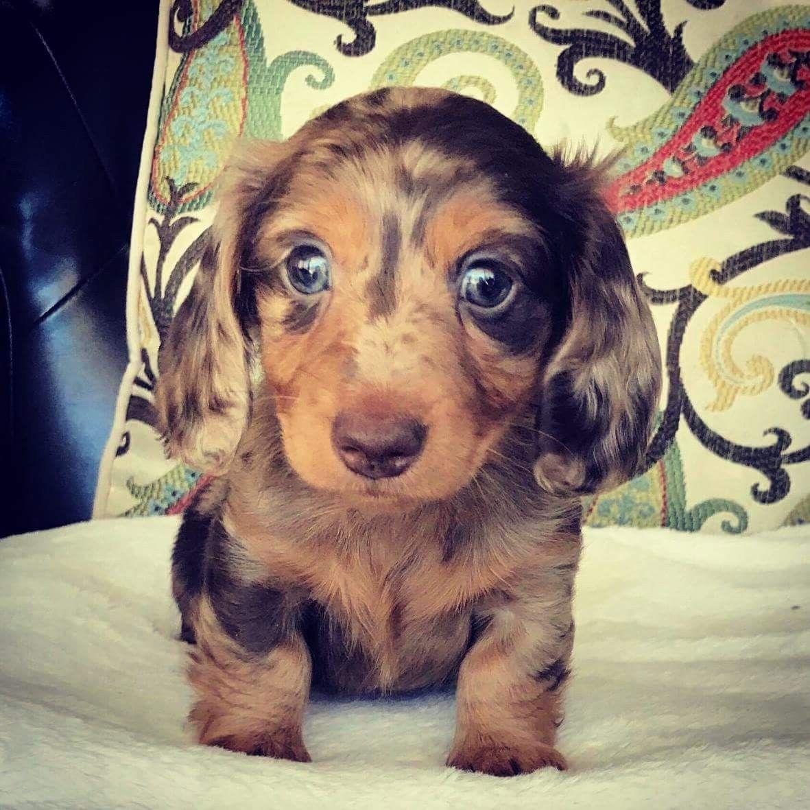 Pin By Jocelyn Jewell Webb On Dachshunds New Puppy Doxie