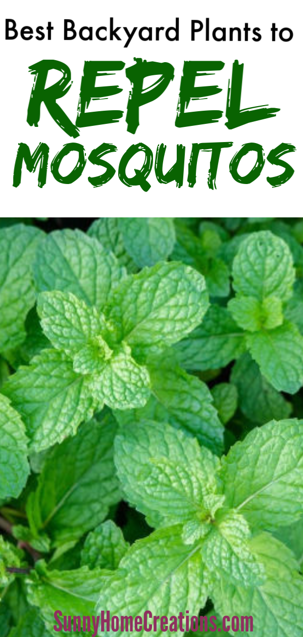 Best Backyard Plant to Repel Mosquitos #outdoorgardens