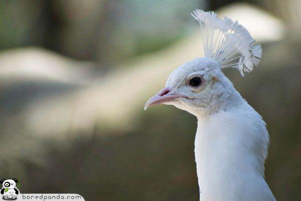 http://www.boredpanda.com/when-god-runs-out-of-paint-26-albino-animals/