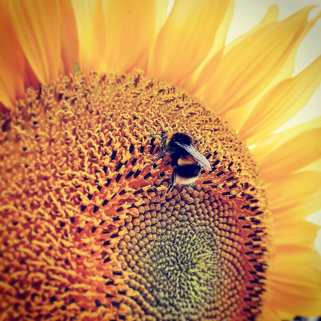 Buzzy buzzy bee #minibeasts #bee #sunflower
