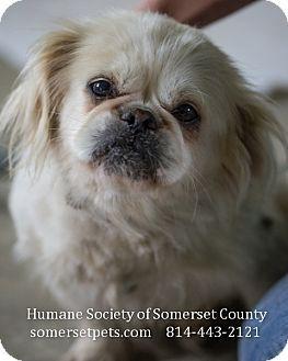 Somerset Pa Shih Tzu Pekingese Mix Meet Kit A Dog For Adoption Pets Pet Dogs Pet Adoption