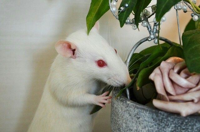Weiße Albino Ratte mit roten Augen ganz in weiss