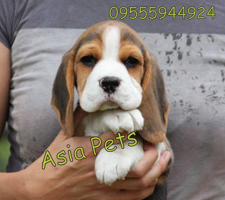 Beagle Puppy For Sale In Delhi Beagle Puppy Beagle Breeders