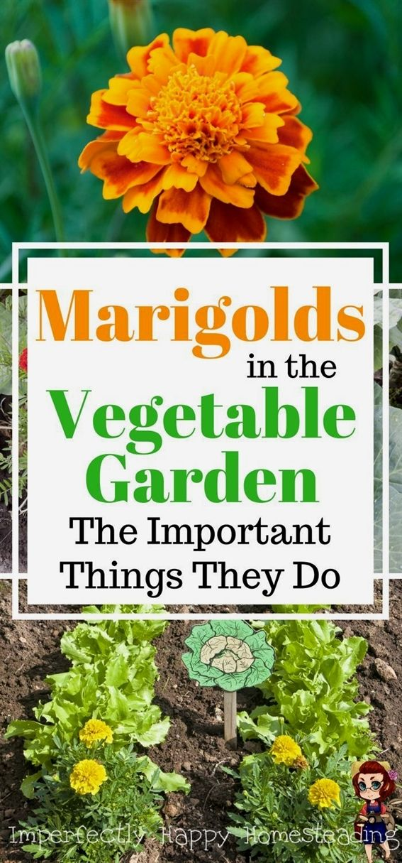 Marigolds in the Vegetable Garden 6 Important Things They Do #veggiegardens