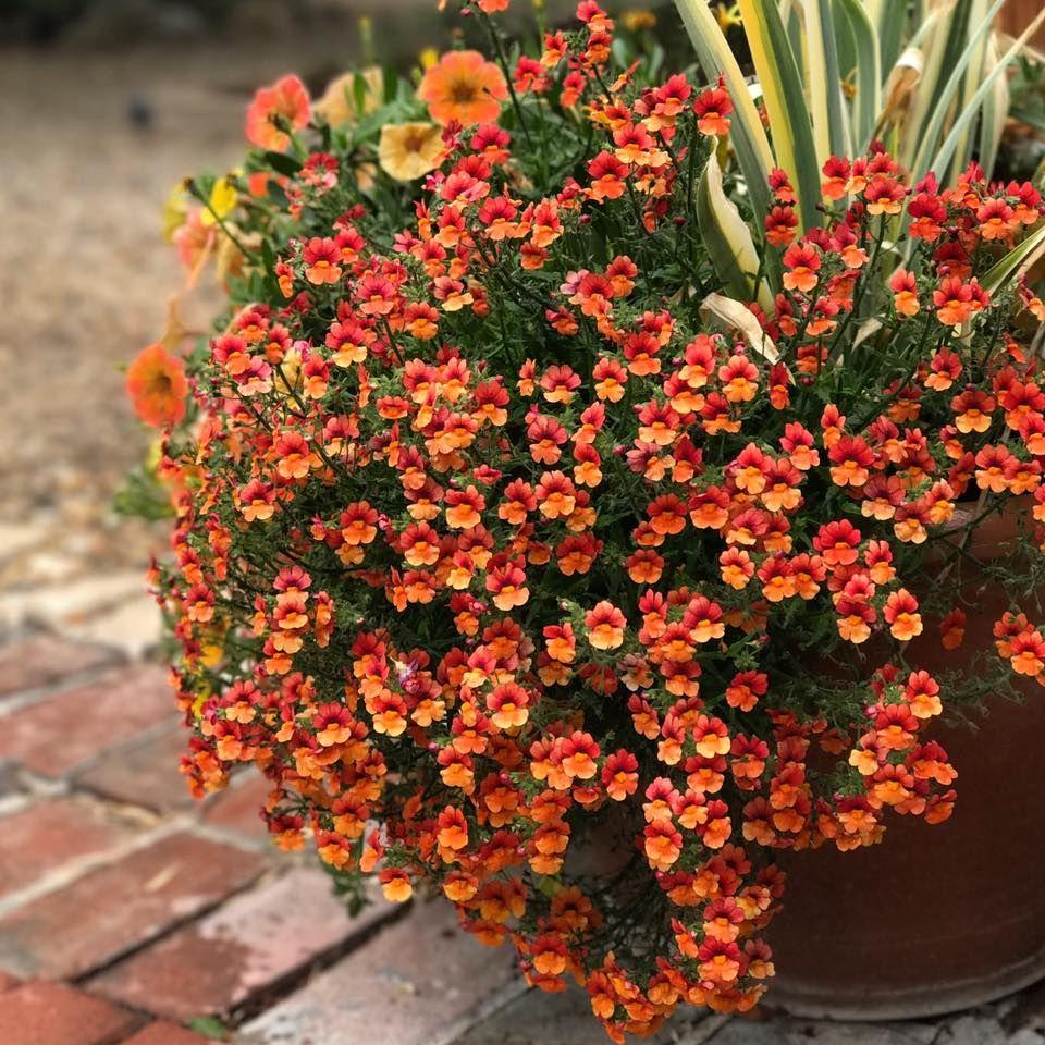 From Garden Answer. Blood Orange Nemesia Flower