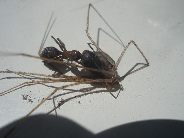 Hormiga vs Araña   Flickr: Intercambio de fotos   Animals (by me ...