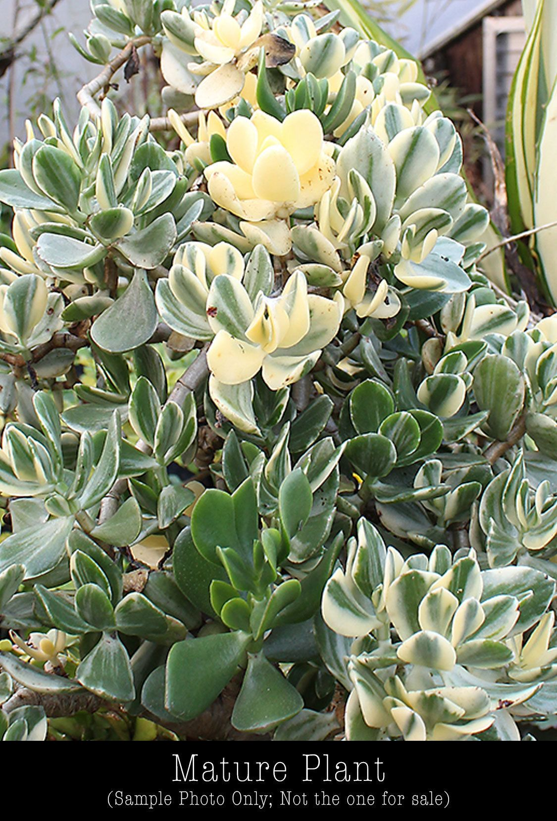 Crassula Ovata Variegata Cuttings Variegated Jade Plant Etsy Jade Plants Crassula Ovata Plant Cuttings