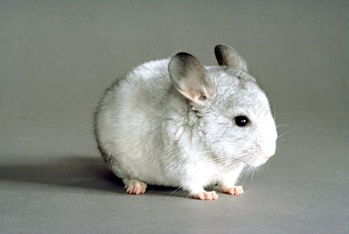 White Chinchilla Chinchilla Animals Cute Animals