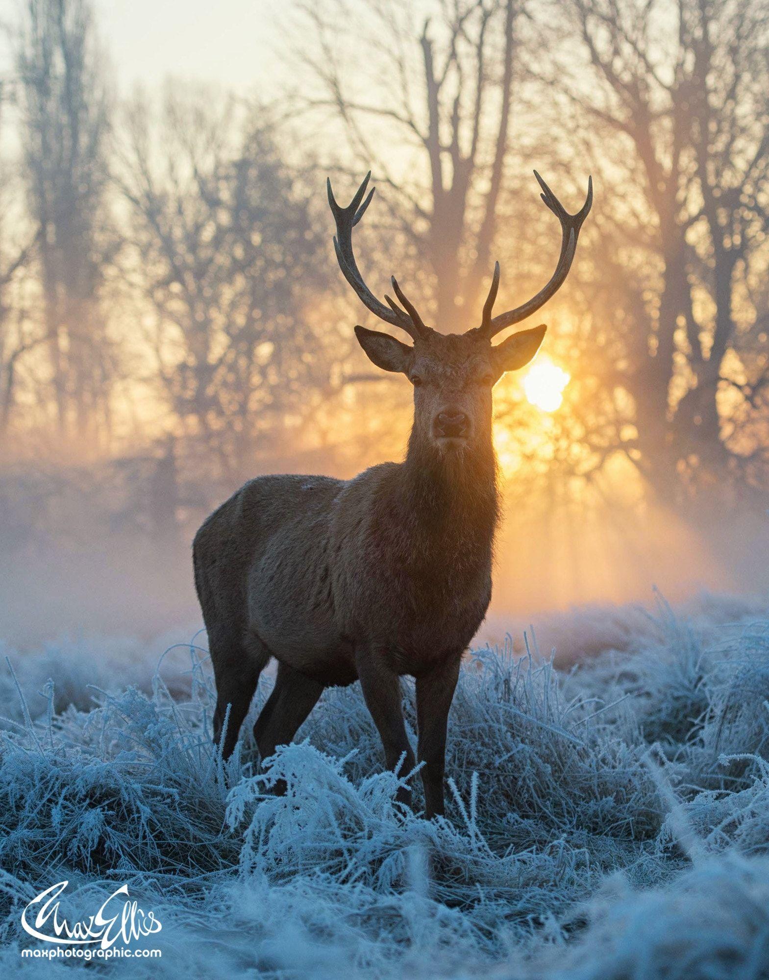 Sunrise W Stag Deer Photography Animal Photography Animals Wild