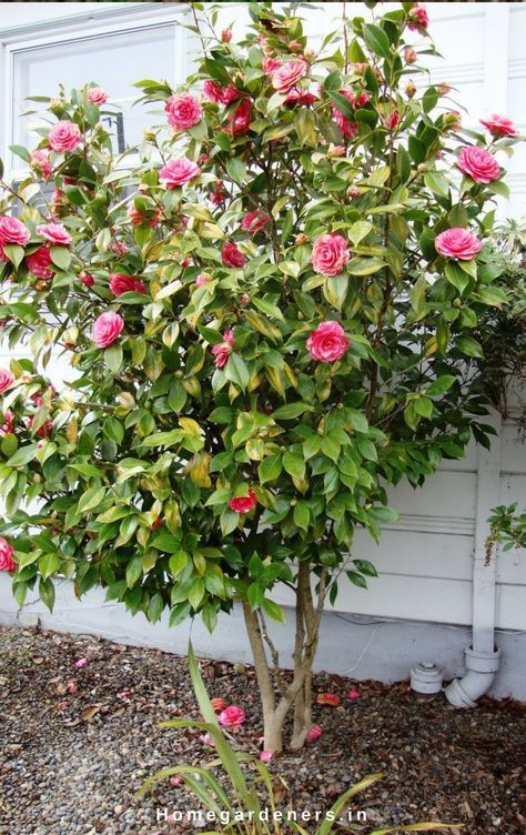 Camellia Plant Care How Camellia Plants Are Making The Garden A Better Place Camellia Plant Plants Camellia Tree