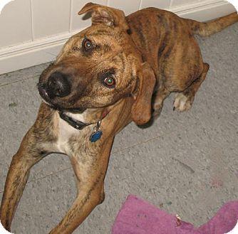 Springfield Mo Plott Hound Meet Lancelot A Dog For Adoption