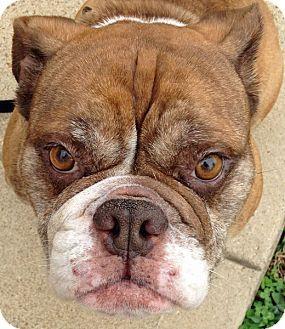 Chesterfield Mo English Bulldog Meet Coco Bean A Dog For
