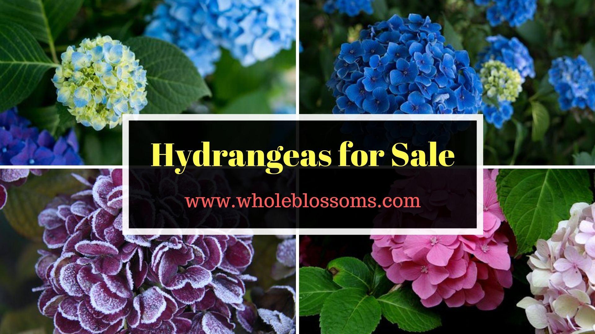 Ordering Amazing Color Varieties Of Hydrangea Flower Hydrangea Colors Flowers For Sale Hydrangeas For Sale