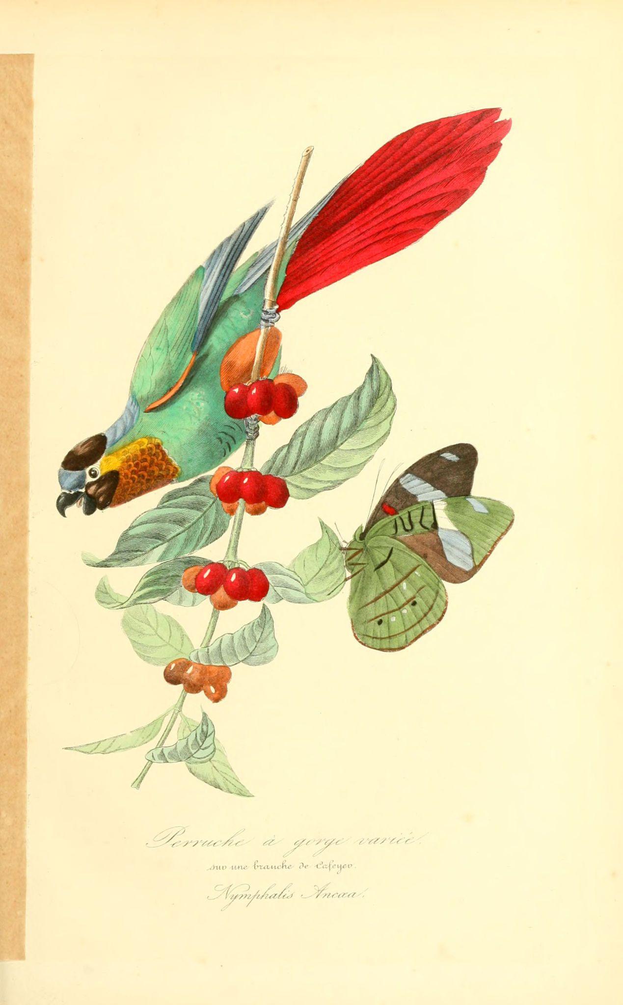Gravures Couleur D Oiseaux Gravures Couleur Oiseaux 169 Perruche