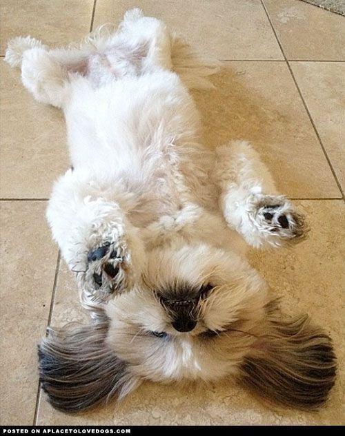Shih Tzu Down Puppies Shih Tzu Animals