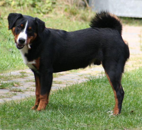 Appenzeller Sennenhund Appenzeller Entlebucher Mountain Dog