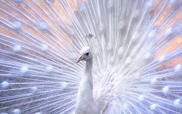 Image Paon Blanc Paon Blanc Animaux Paon