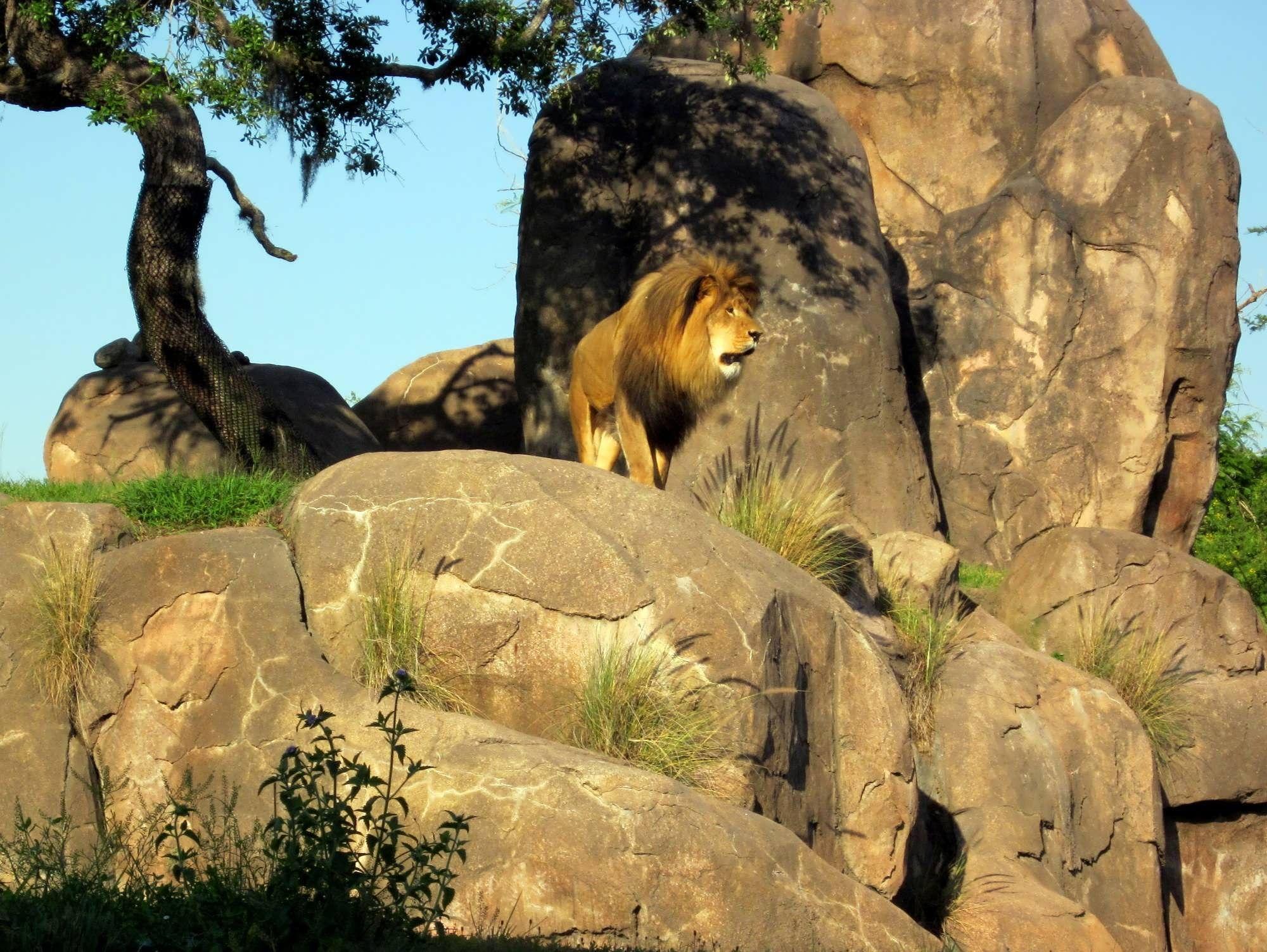 Kilimanjaro Safaris Animal Kingdom Kilimanjaro Safaris At Disney S Animal Kingdom Safari