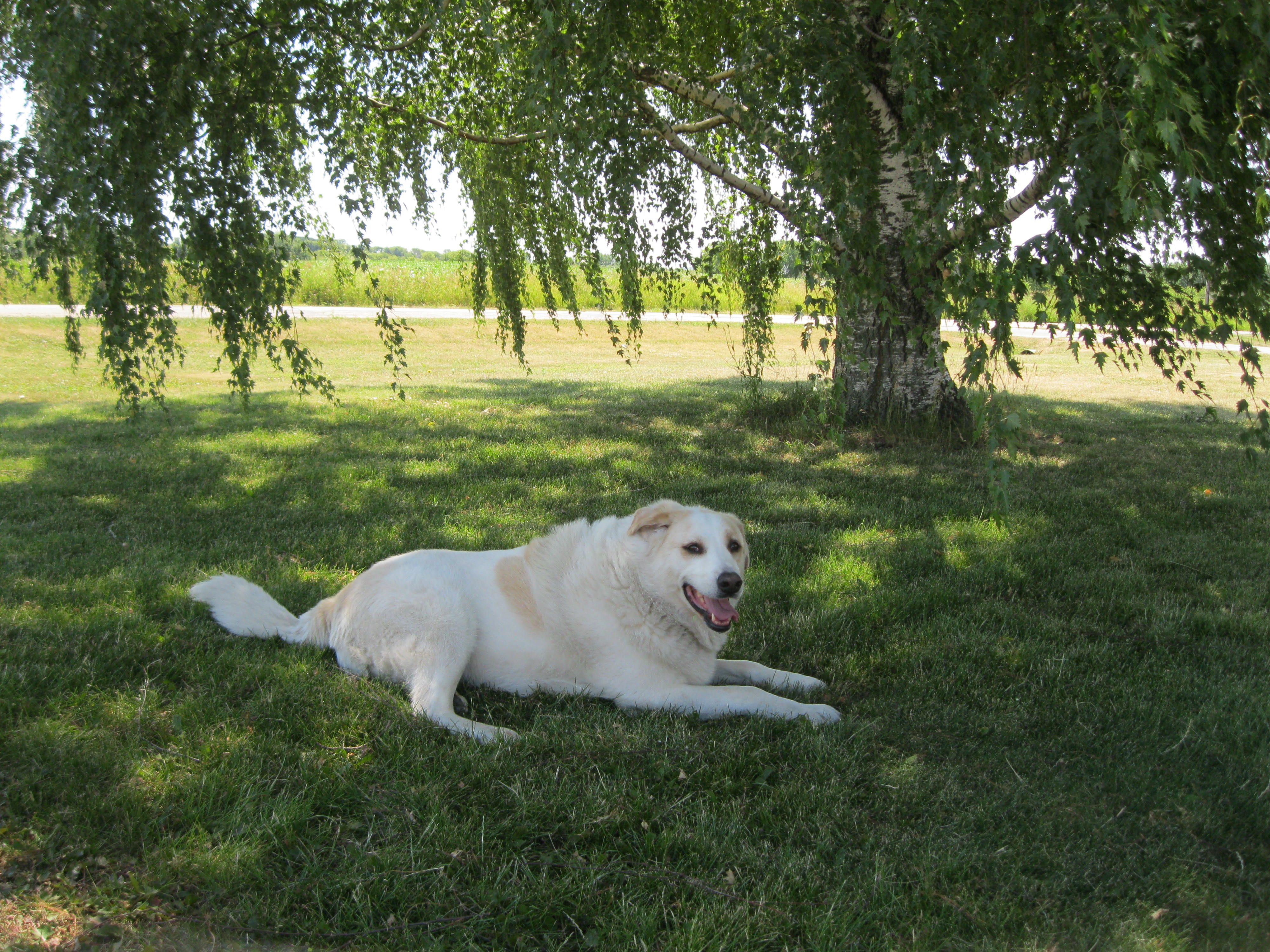 Small Crop Of Great Pyrenees Lab Mix