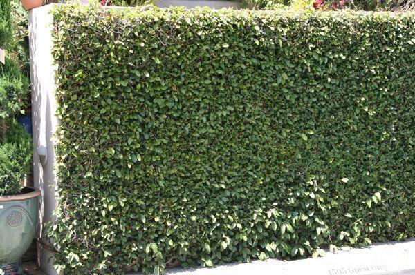 999 Jpg 600 399 Ficus Pumila Creeping Fig Trellis Plants