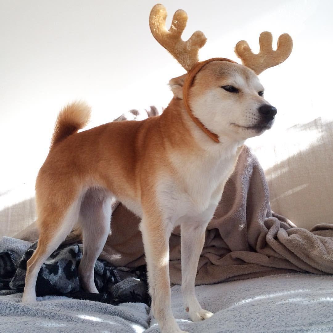 Shiba Inu Christmas Reindeer | Christmas Cuties | Pinterest | Shiba ...