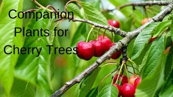 Companion Plants For Cherry Trees Growing Guides Sour Cherry Tree Cherry Tree How To Grow Cherries