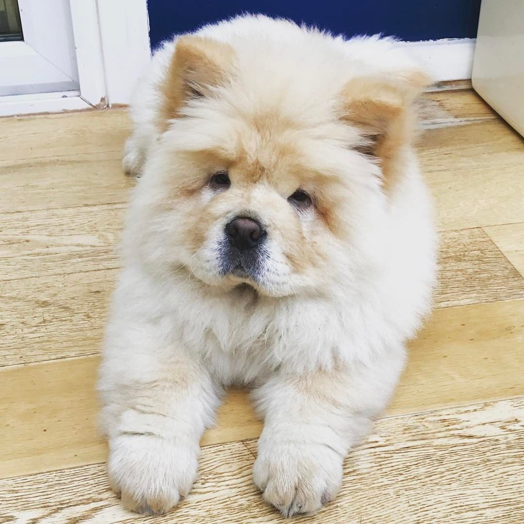 On My Best Behaviour For Gramps Chow Chowchow Chowchowpuppies