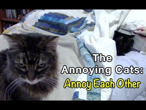 See how the Annoying Cats Annoy Each Other in this funny video.