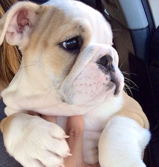d0578f44752 English Bulldog puppy