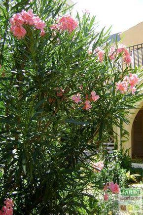 comment tailler un laurier rose jardin pinterest. Black Bedroom Furniture Sets. Home Design Ideas