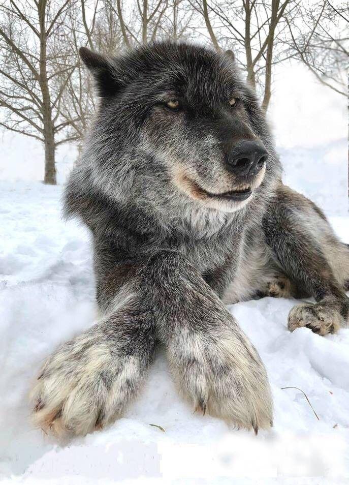 Прикольные картинки волка, поздравить