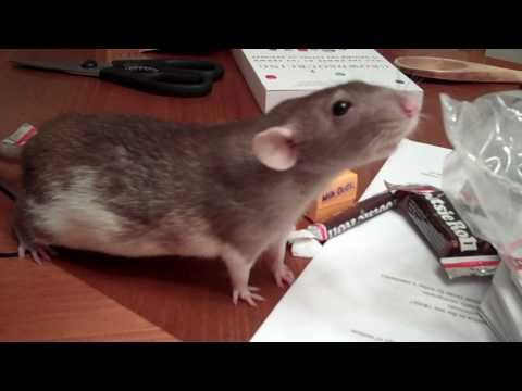 So cute! A dumbo rat runs off with a tootsie roll she stole...and she won't let go of it that easily!