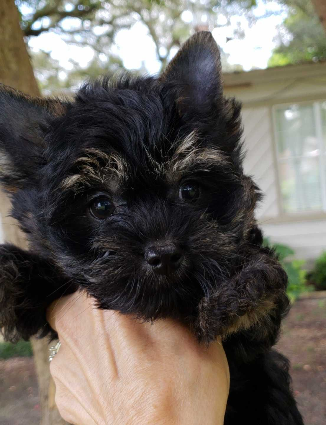 Mostly Black Yorkshire Terrier 12 Week Old Female For Sale Carries Chocolate Sable More Colors Yorkie Yorkshire Terrier Terrier