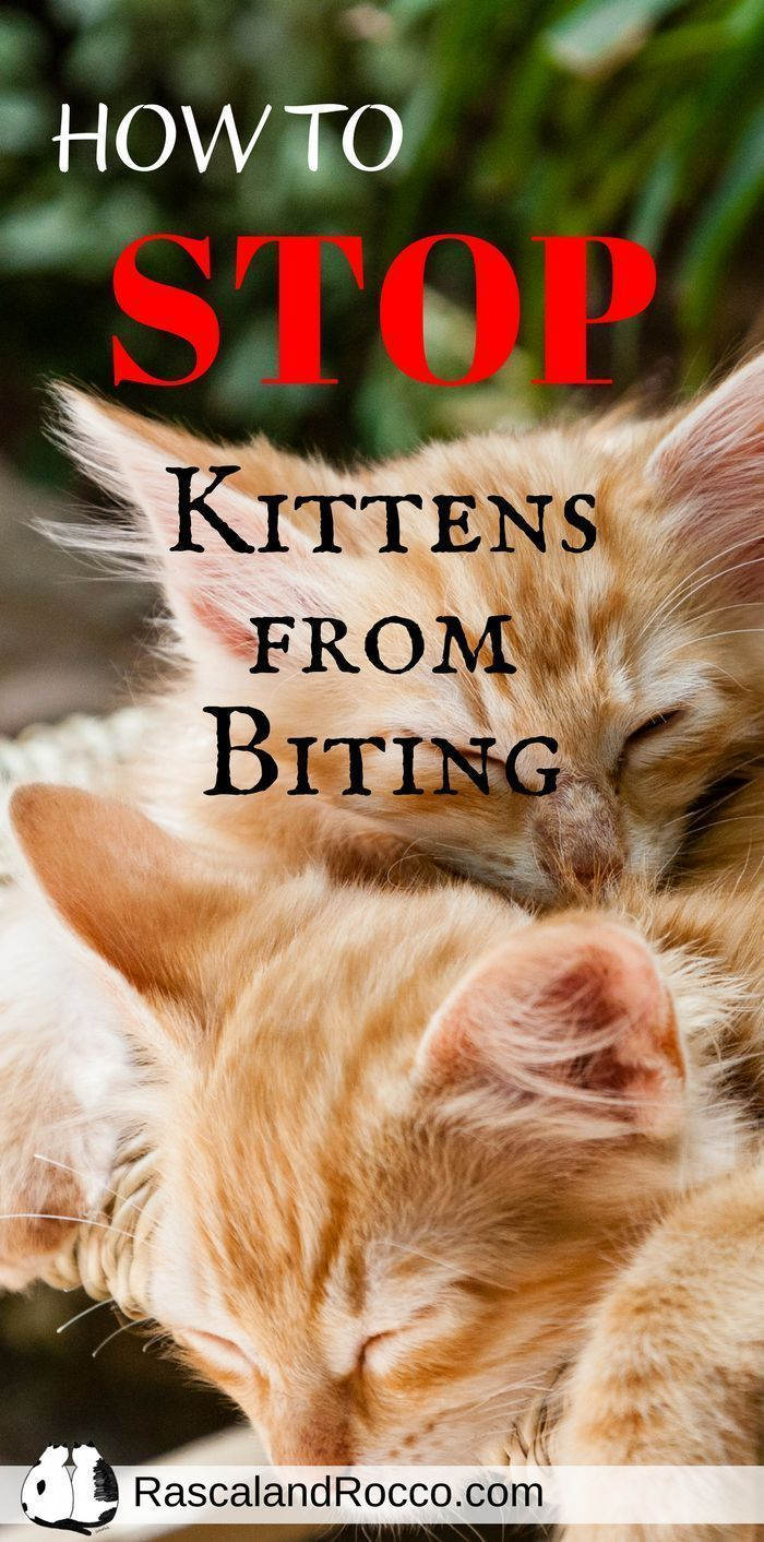 How to Stop Your Kitten from Biting cats cat behavior