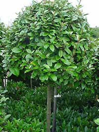 Elaeagnus ebbingei  Grow  Pinterest  Garten Garten
